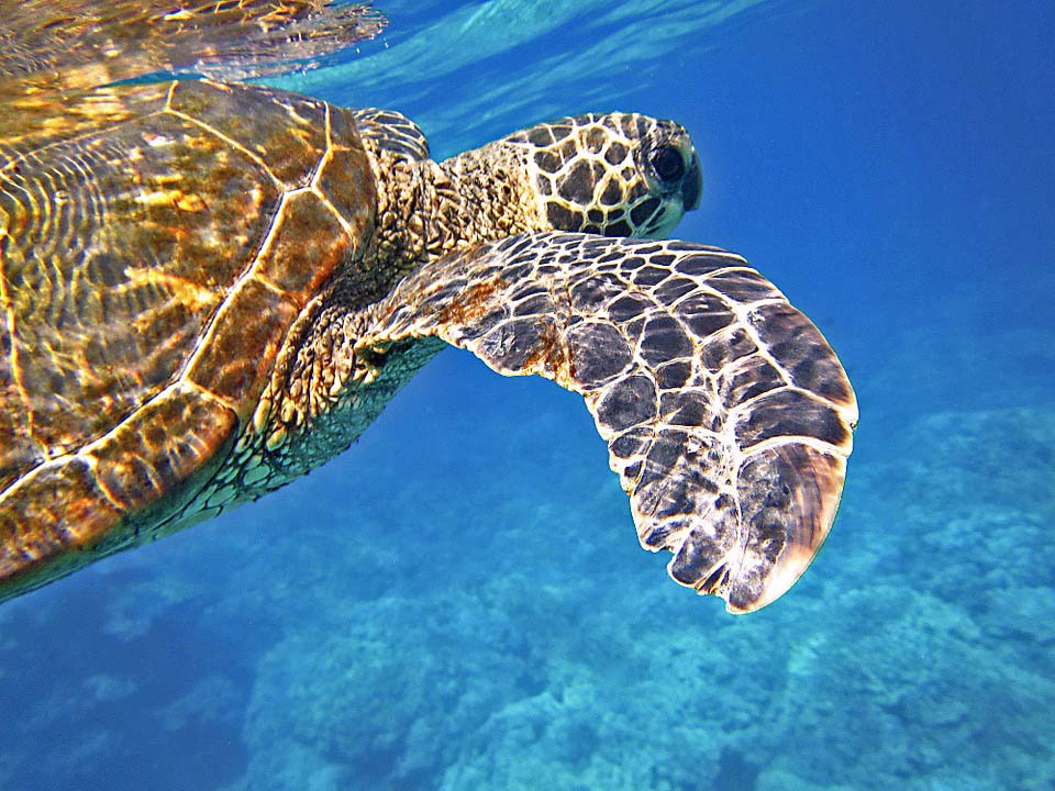 Astron Great Sea Turtles